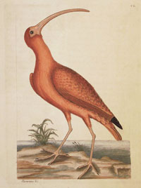 Catesby: Red Curlew