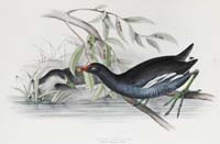 Gould Common Gallinule