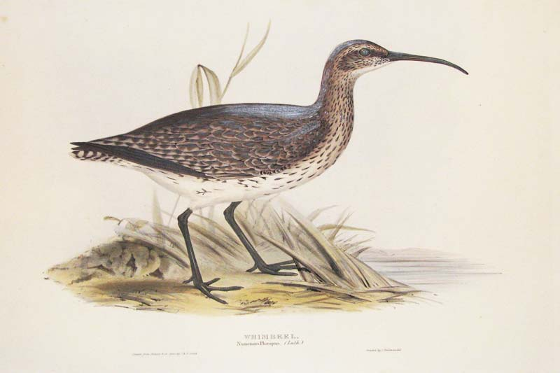Gould Whimbrel