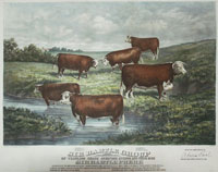 Ottman: cattle